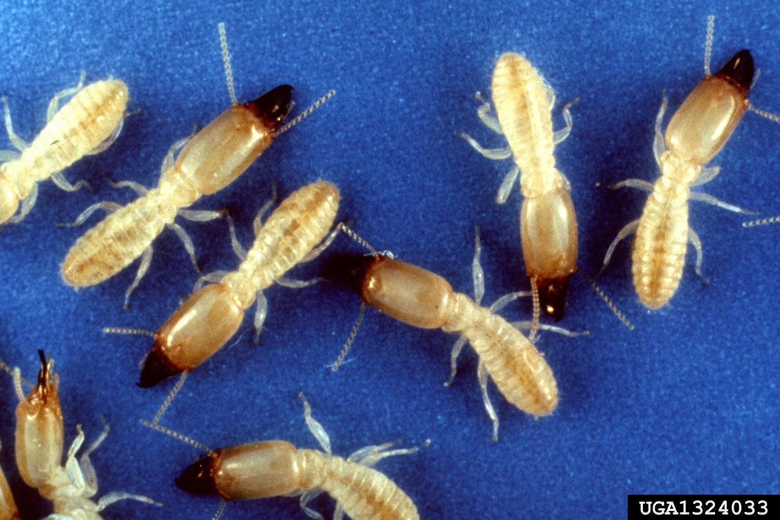 Subterrenean-termites PEST LIBRARY